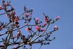 embiruçu-vermelho (P. ellipticum) (7)