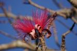 embiruçu-vermelho (P. ellipticum) (10)