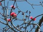 embiruçu-vermelho (P. ellipticum) (17)