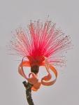 embiruçu-vermelho (P. ellipticum) (18)