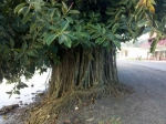 Ficus elastica (01)
