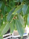Ficus elastica (10)
