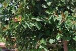 Ficus elastica (12)