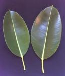 Ficus elastica (15)
