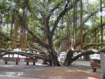 Ficus benghalensis (01)