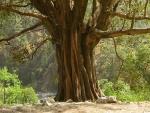 Ficus benghalensis (02)