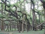 Ficus benghalensis (03)