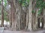 Ficus benghalensis (04)