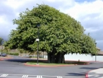 Ficus benghalensis (05)