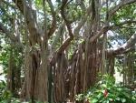 Ficus benghalensis (06)