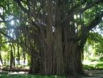 Ficus benghalensis (08)