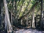 Ficus benghalensis (09)