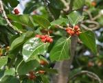 Ficus benghalensis (11)