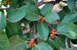Ficus benghalensis (12)