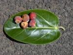 Ficus benghalensis (16)