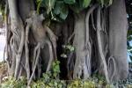 Ficus elastica (02)