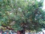Ficus elastica (03)