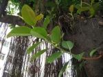 Ficus elastica (04)