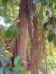 Ficus elastica (05)