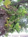 Ficus elastica (06)