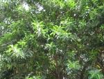 Ficus elastica (07)
