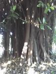 Ficus elastica (08)