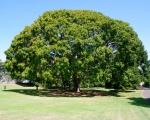 Ficus lutea (01)