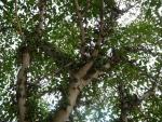 Ficus lutea (03)