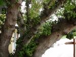 Ficus lutea (04)