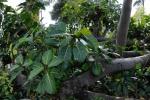 Ficus lutea (05)