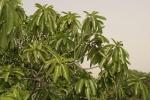 Ficus lutea (06)