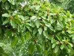 Ficus lutea (07)