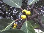 Ficus lutea (08)