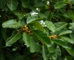 Ficus lutea (10)