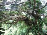 Ficus benjamina (02)