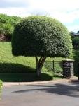 Ficus benjamina (03)