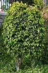 Ficus benjamina (04)