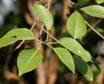 Ficus benjamina (05)