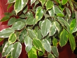 Ficus benjamina (07)