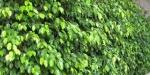 Ficus benjamina (08)