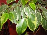 Ficus benjamina (09)
