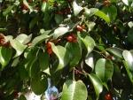 Ficus benjamina (10)