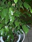 Ficus benjamina (14)