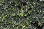 Ficus benjamina (15)