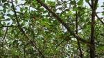 Ficus clusiifolia (01)