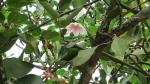 Ficus clusiifolia (02)