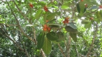 Ficus clusiifolia (03)
