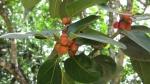 Ficus clusiifolia (04)