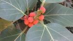 Ficus clusiifolia (05)