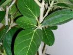 Ficus benghalensis (13)